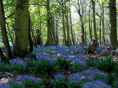 Photograph - Bluebell Woods by Chris Cox