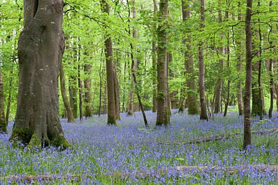 Photograph - Bluebell Woods by Helen Northcott
