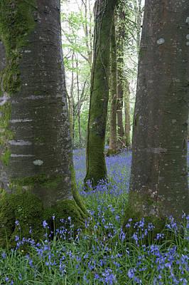 Photograph - Bluebell Woods Ix by Helen Northcott