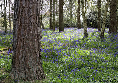 Photograph - Bluebell Woods Ll by Shirley Mitchell