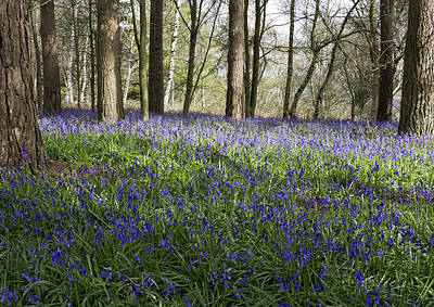 Photograph - Bluebell Woods Lll by Shirley Mitchell