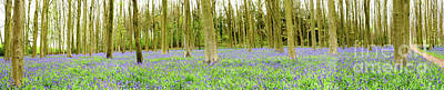 Photograph - Bluebell Woods Panorama by Colin Rayner