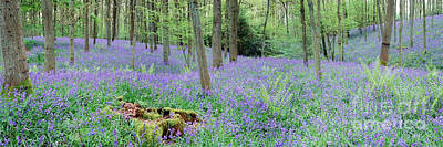 Photograph - Bluebell Woods Panorama by Warren Photographic