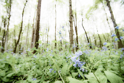 Photograph - Bluebell Woods by Tracy Winter