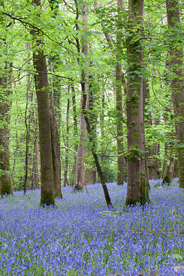 Photograph - Bluebell Woods V by Helen Northcott