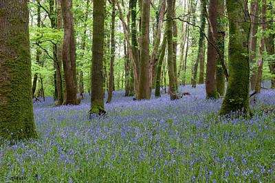 Photograph - Bluebell Woods Vi by Helen Northcott