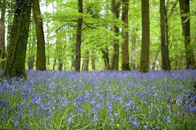 Photograph - Bluebell Woods Xiii by Helen Northcott