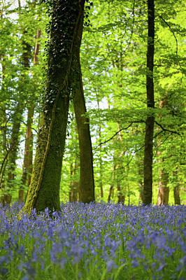 Photograph - Bluebell Woods Xiv by Helen Northcott