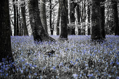 Photograph - Bluebell Woods Xv by Helen Northcott