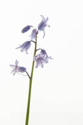 Photograph - Bluebelll Stem V by Helen Northcott