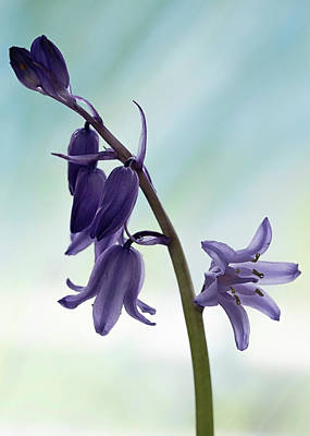 Photograph - Bluebells 1 by Shirley Mitchell