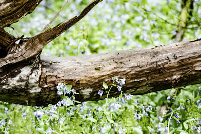 Photograph - Bluebells After The Rain by Tracy Winter