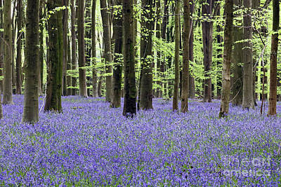 Photograph - Bluebells And Beech Trees by Julia Gavin