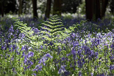 Photograph - Bluebells And Bracken Uk by Julia Gavin