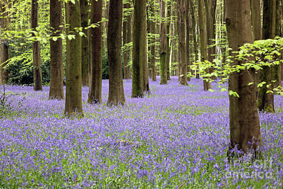 Photograph - Bluebells And Trees Micheldever Wood by Julia Gavin