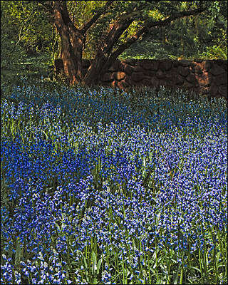 Photograph - Bluebells by Chris Lord