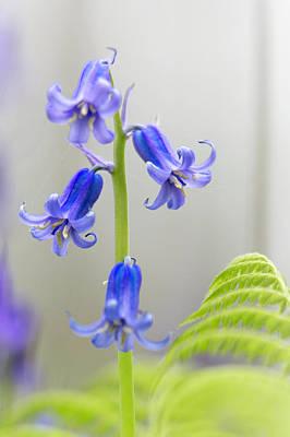 Photograph - Bluebells Dreamy Wild Flower Fantasy by Dirk Ercken