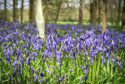 Photograph - Bluebells by Framing Places