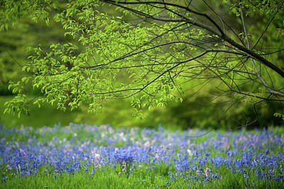 Photograph - Bluebells by John Whitmarsh