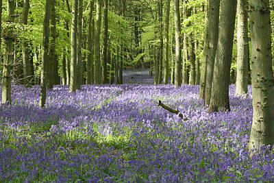 Photograph - Bluebells by Paul Ambridge