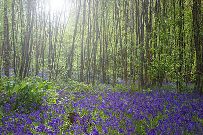 Spring Scenery Photograph - Bluebells by Martin Newman