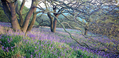 Newton Photograph - Bluebells N Yorkshire England by Panoramic Images