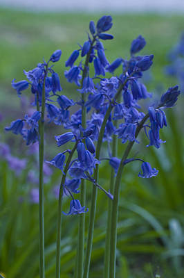 Photograph - Bluebells by Rob Hemphill