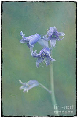 Painterly Photograph - Bluebells. by Robert Brown