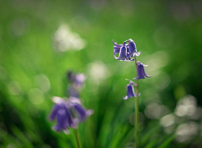 Photograph - Bluebells by Scott Rackers