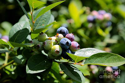 Blueberries Closeup With Leaves Art Print