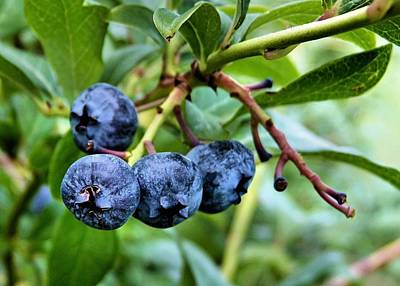 Photograph - Blueberries by Janice Drew
