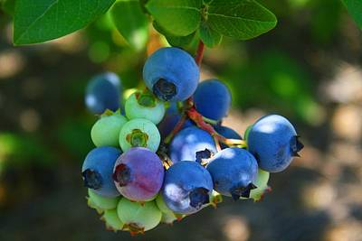 Photograph - Blueberries by Kathryn Meyer