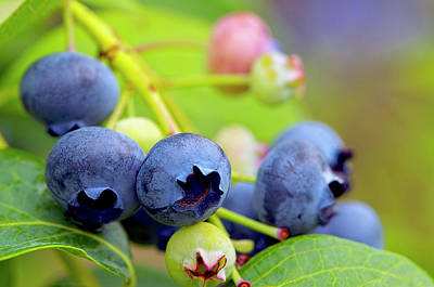 Photograph - Blueberries On The Bush 2 by Sharon Talson