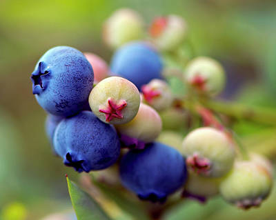 Photograph - Blueberries On The Bush 3 by Sharon Talson
