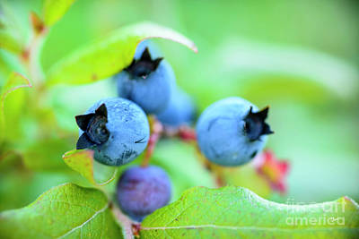 Photograph - Blueberries Up Close by Alana Ranney