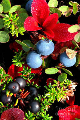 Photograph - Blueberry And Crowberry by Frank Townsley