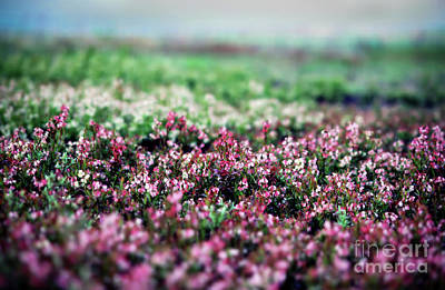 Art Print featuring the photograph Blueberry Blossoms  by Alana Ranney
