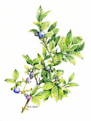 Drawing - Blueberry Branch by Betsy Gray
