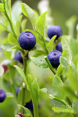 Blueberry Shrubs Art Print by Michal Boubin