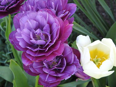 Fathers Day 1 - Blueberry Tulips by Betty-Anne McDonald