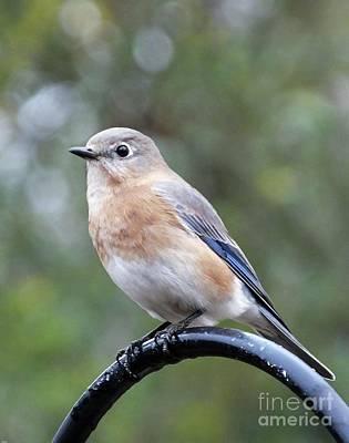 Photograph - Bluebird 1 by Lizi Beard-Ward