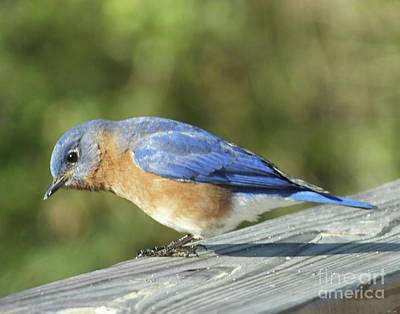 Photograph - Bluebird 2 by Lizi Beard-Ward