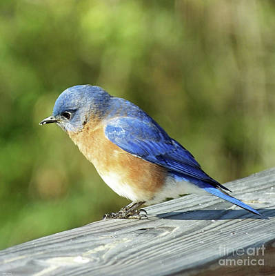 Photograph - Bluebird 3 by Lizi Beard-Ward