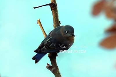 Photograph - Bluebird 4346 by Captain Debbie Ritter