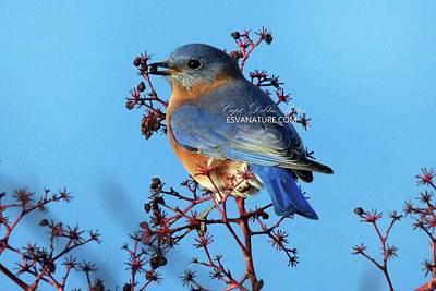 Photograph - Bluebird 5398 by Captain Debbie Ritter