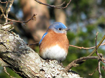 Bluebird Photograph - Bluebird by Amy Tyler