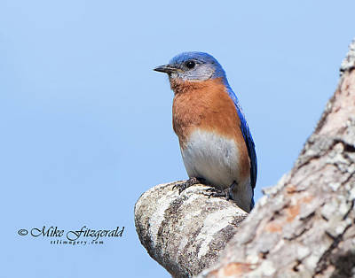 Photograph - Bluebird And Blue Sky by Mike Fitzgerald
