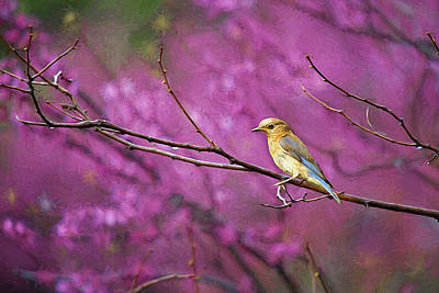 Cercis Photograph - Bluebird And Redbuds by Darren Fisher