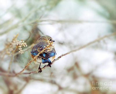 Photograph - Bluebird At Blackwater by Kerri Farley