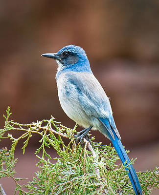 Photograph - Bluebird At Red Rocks by Kevin Munro